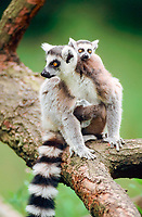 Ring-tailed Lemurs, female with young (Lemur catta)