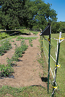 Vegetable garden with caged tomatoes, mulched with straw, deer electric fencing fence, protected, lawn grass, wide view, trees, shrubs, blue sunny sky