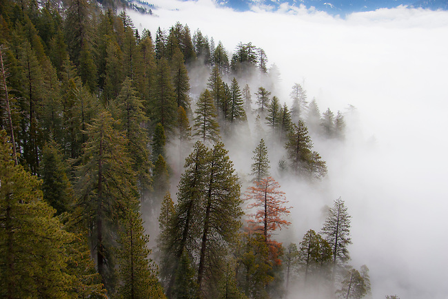 Fog rolls into Giant Forest and the Sierra Nevada Mountain Range at Sequoia National Park, California