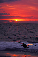 Heron standin in waves of gulf of Mexico jumps to take off into flight at sunset with dramatic colors