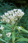 Four-leaved milkweed, Asclepias incarnata<br />