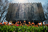 Tulips with Allen Hall.<br />  (photo by Megan Bean / &copy; Mississippi State University)