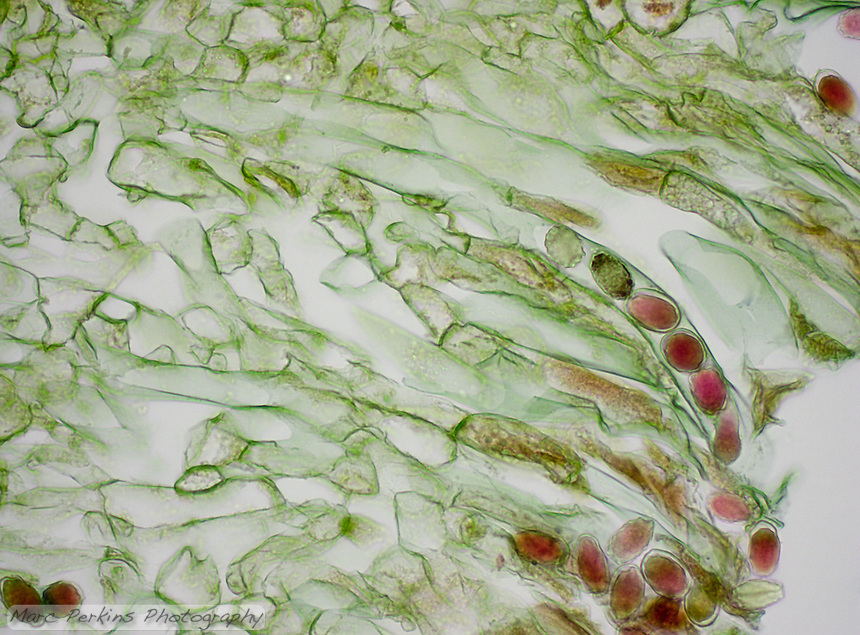 Cross section through an ascocarp (fruiting body) of Morchella sp., an ascomycete, focusing on the asci, cells that produce ascospores.  Ascospores are the red-stained structures insice the elongated cells (asci).