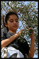 Maram Ali, 11 picks olives in the Palestinian village of Jama'in, in the West Bank October 19, 2006. Part of the olive trees of the Ali family are in the border with the Jewish Settlement of Tapuach, which makes it very dangerous for the family to pick the olives because of continuous attacks and threats by Jewish settlers to members of the family. In order to harvest the trees this year by an Israeli Court decision the family has been protected by Israeli security forces. To make sure the family can harvest the trees the family also is receiving the help of an Israeli NGO called Rabbis for Human Rights. RHR helps the Palestinian families not only with their presence but also with volunteers who help with the harvest in the border and friction areas with Jewish Settlers. Photo by Quique Kierszenbaum