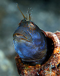 Blue Seaweed Blenny Blue fromthe burn of a fireworm lunch, or suffering from acid indigestion
