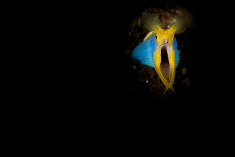 blue ribbon eel: Rhinomuraena quaesita, head on view, Tulamben, Bali