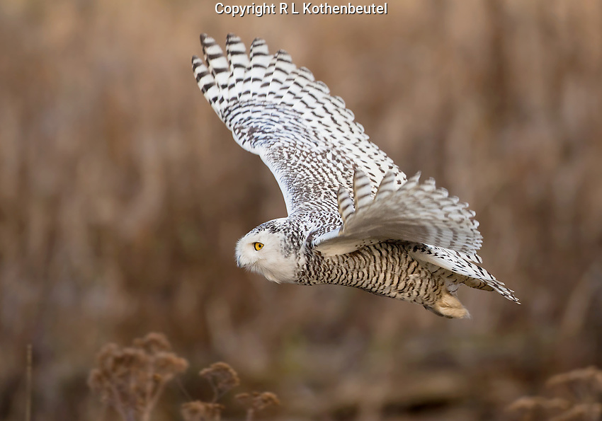 Snowy owl flying over the tidelands of Boundary Bay.<br />