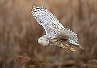 Snowy owl flying over the tidelands of Boundary Bay.<br /> Near Ladner, British Columbia, Canada<br /> 1/10/2012