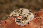 Nudibranch (Armina sp.)