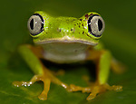 Lemur Leaf Frog, Hylomantis lemur, portrait, on leaf, day time lime green and silver eyes colouration, Guayacan, Provincia de Limon, Costa Rica, Amphibian Research Center, tropical jungle, South America, Endangered, Threatened.Central America....