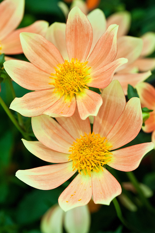 Dahlia 'Ian Hislop', early July. A single dahlia with yellow-tipped, apricot-orange flowers with yellow centres.