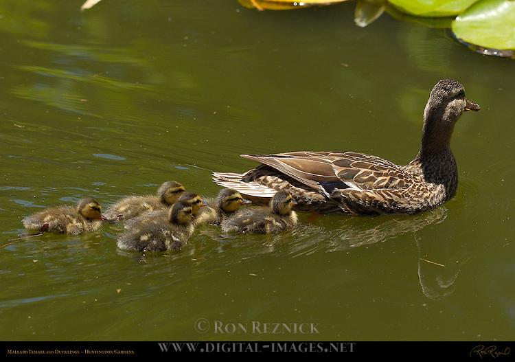 Mallard Female and Ducklings, Huntington Gardens, San Marino, California