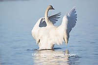 00758-01020 Trumpeter Swan (Cygnus buccinator) flapping wings in wetland, Marion Co., IL