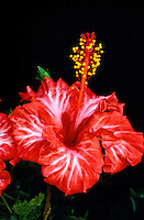 A stunning close-up of a red and white varigated hibiscus blossom