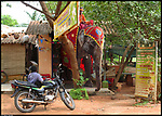 Free elephants roaming around Auroville, Tamil Nadu, India