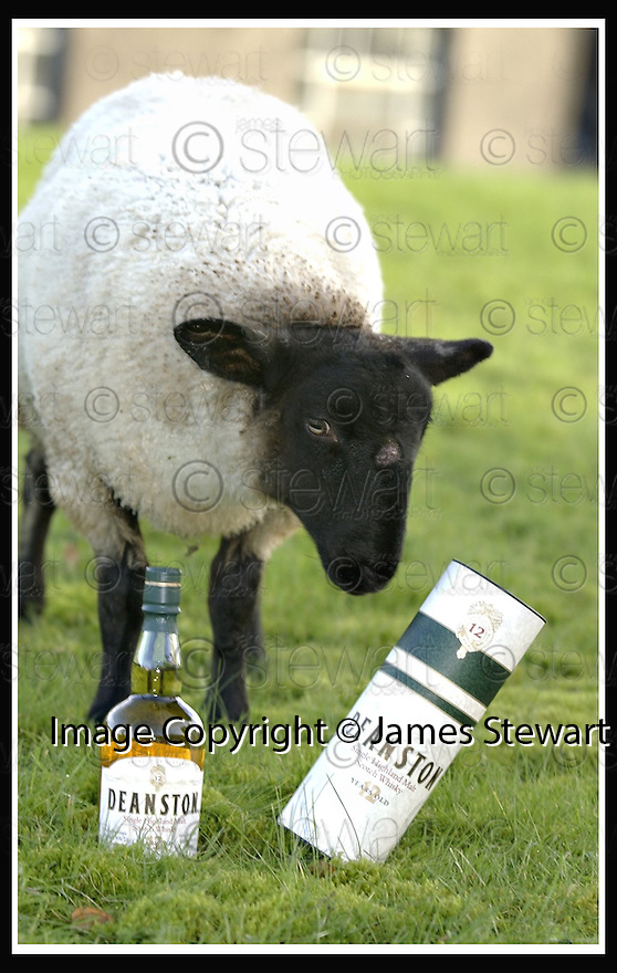 15/11/2001                 Copyright Pic : James Stewart .Ref : DSC_2811                          .File Name : stewart01-sheep.DOLLY THE SHEEP WHO WAS SAVED FROM SLAUGHTER AFTER BEING ADOPTED BY STAFF AT DEANSTON DISTILLERY........(see copy from George Mair / Tim Bugler)......James Stewart Photo Agency, Stewart House, Stewart Road, Falkirk. FK2 7AS      Vat Reg No. 607 6932 25.Office     : +44 (0)1324 630007     .Mobile  : + 44 (0)7721 416997.Fax         :  +44 (0)1324 630007.E-mail  :  jim@jspa.co.uk.If you require further information then contact Jim Stewart on any of the numbers above.........