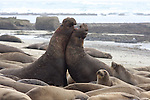 bull elephant seals fight in harem
