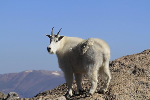 Mountain Goat (Oreamnos americanus) standing on the slopes of Mount Evans (14,250 feet), Rocky Mountains, west of Denver, Colorado, USA Private photo tours of Mt Evans. .  John leads private, wildlife photo tours throughout Colorado. Year-round.