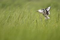 Willet (Catoptrophorus semipalmatus semipalmatus), Eastern subspecies, in breeding plumage landing in a marsh.
