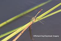 06398-00112 Jade Clubtail (Arigomphus submedianus) male Marion Co. IL