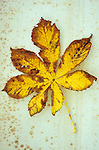 Yellow and brown autumn leaf of Horse chestnut or Aesculus hippocastanum tree lying on antique paper