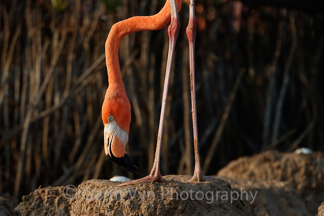 American Flamingo (Phoenicopterus ruber) standing over it's egg in a nest. Yucatan, Mexico.. Yucatan, Mexico.