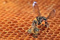 With its enormous mandibles, the Asian hornet is a formidable predator.///Avec ses énormes mandibules, le frelon asiatique est un prédateur redoutable.