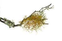 golden hair lichen<br /> Teloschistes flavicans
