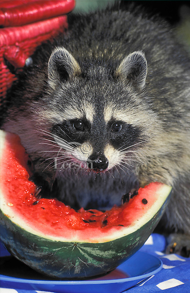 RACCOON eating watermelon left unguarded at picninc site..Summer. North america..(Procyon lotor)