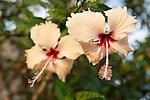 Rakiraki, Viti Levu, Fiji; a  pair of peach colored Hybiscus flowers