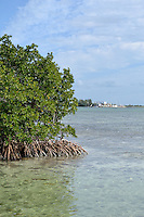 A beautiful walk along South Roosevelt Blvd. in Key West allows you to view mangrove trees, with their characteristic root structure.