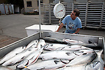 Fresh caught salmon being processed at the Caito dock in Noyo Harbor, near Fort Bragg