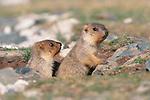 Marmots, Mongolia