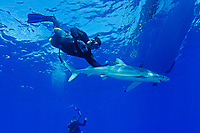 blue shark and snorkeler touching shark, Prionace glauca, Azores, Portugal, Atlantic Ocean, model release
