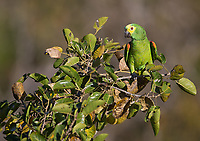 I saw a variety of parrots and parakeets during my visit to western Brazil.  This included the amazingly colorful Turquoise-fronted (or Blue-fronted) parrot.