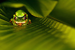Amplexus of Red-eyed Tree Frogs (Agalychnis callidryas), Costa Rica