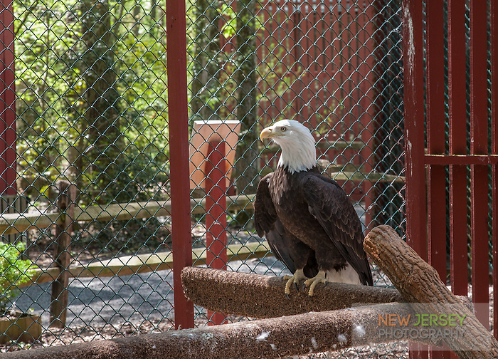 Bald Eagle in Aviary Cage, The Raptor Trust, New Jersey