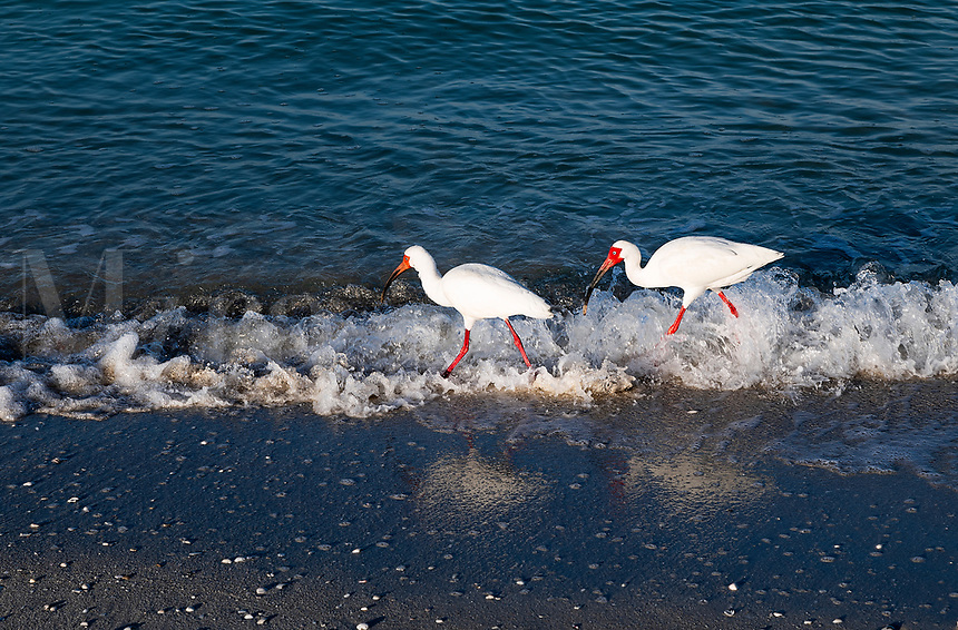 Pair of Ibis searching for food along the waters edge, Barefoot Beach, Bonita Springs, Florida, USA.