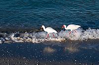 Pair of Ibis searching for food along the waters edge, Barefoot Beach, Bonita Springs, Florida, USA.