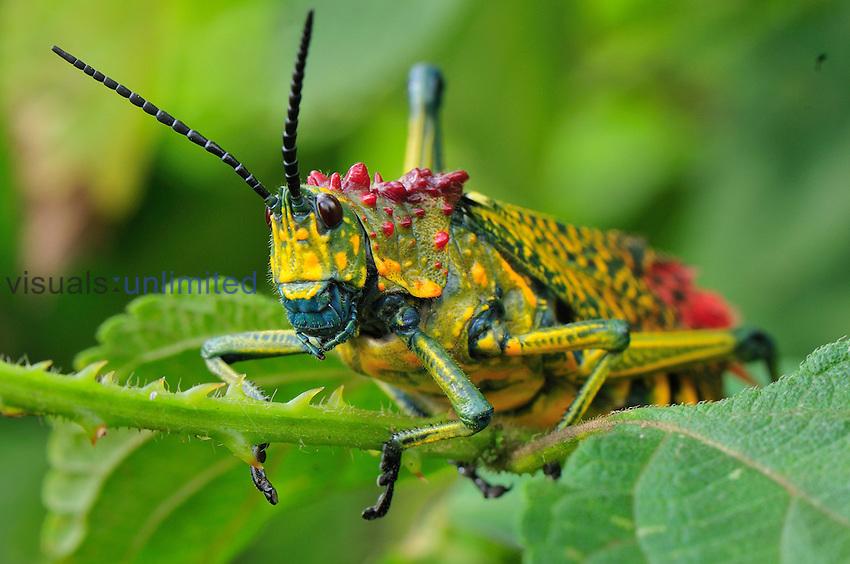 Giant Locust or Grasshopper (Phymateus saxosus), Southern Madagascar