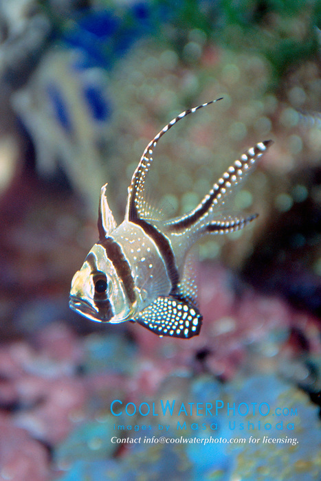 Banggai cardinal fish (c), Pterapogon .kauderni, found only around Banggai Island .off Sulawesi, Indonesia, severely threatened .by aquarium trades, Indo-Pacific Ocean.