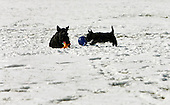 Barney, left, and Miss Beazley, the dogs of United States President George W. Bush and first lady Laura Bush, enjoy some play time on a warm winter afternoon. <br /> Credit: Jay L. Clendenin / CNP