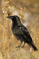 Kolkrabe, Kolk-Rabe, Rabe, Corvus corax, common raven