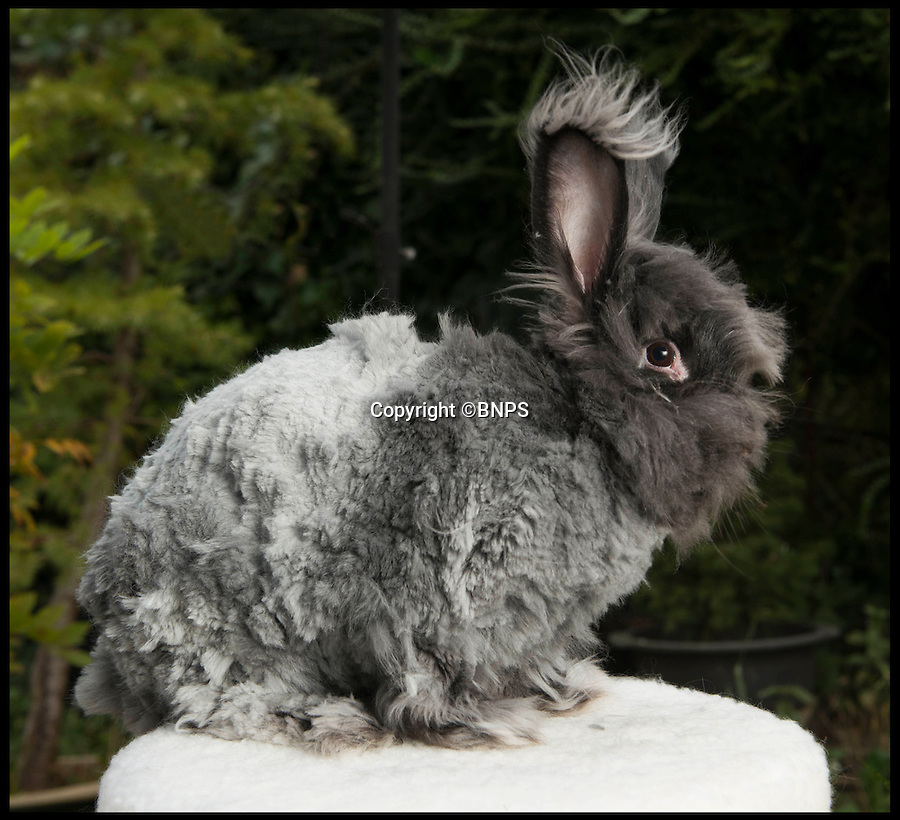 BNPS.co.uk (01202 558833)<br /> Pic: LauraDale/BNPS<br /> <br /> Winter crop....<br /> <br /> Resourceful rabbit owner Sally May is making her winter woollies from the fleece of her fluffy Angora bunnies.<br /> <br /> Sally, who lives in Wiltshire, got her first Angora rabbit 40 years ago when a friend wanted to get rid of one. Now she has 20 which she regularly clips to make the warmest, softest, and even waterproof, wool.<br /> <br /> Angora fibres are prized for their fluffy texture. It's about six times warmer than sheep's wool, and the fibre is also exceptionally fine, just 11 microns (thousands of a millimetre), which make it softer than cashmere. It has a trade value of £22 to £28 per kilo.<br /> <br /> The 67-year-old also exhibits her pampered pets at big shows, the rabbit equivalent of Crufts, and her brown-grey angora Brianna just won 'best in show' at the Three Counties Show in Malvern, just beating its sister Bunny.