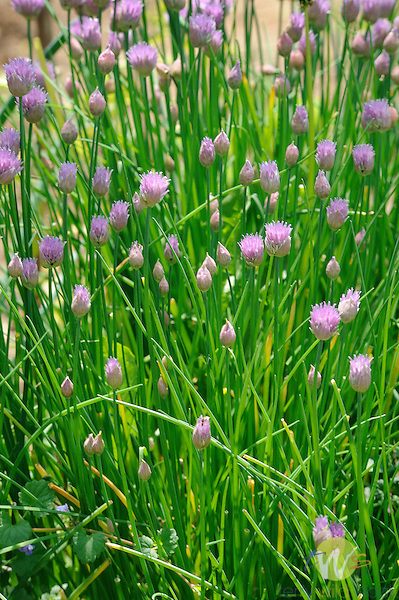 Mary Ann Banks organic garden. Chive in flower.