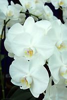 Phalaenopsis amabilis orchid species