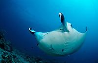 reef manta ray, Manta alfredi, Maldives, Indian Ocean, Meemu Atoll