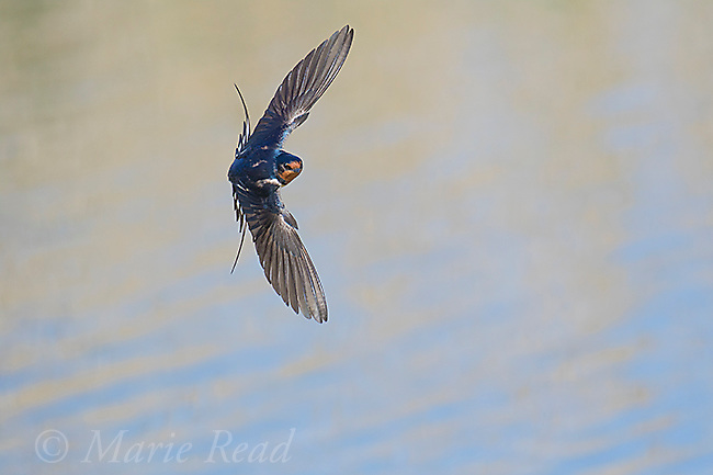 Barn Swallow (Hirundo rustica) front view of adult banking in flight over water, Bear River Migratory Bird Refuge, Utah, USA