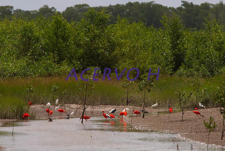 Guarás, garças e outras aves procuram alimento no manguezal da Reserva Extrativista Marinha Mãe Grande no litoral do Pará, na foz do rio Amazonas. O guará se destaca na paisagem pela sua plumagem de um vermelho muito intenso ocasionado por sua  alimentação à base de um caranguejo que possui um pigmento que tinge as plumas.  As aves alimentam-se de crustáceos e algumas espécies de peixes encontrados no mangue. <br /> Curuçá, Pará, Brasil.<br />  Foto: Paulo Santos <br /> 17/05/2009