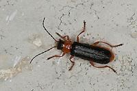 Weichkäfer, Soldatenkäfer, Cantharis fulvicollis, Cantharis flavilabris, soldier beetle, soldier beetles, cantharid